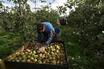 Mangel på norske epler