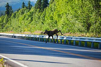 6 180 hjortevilt drept i trafikken