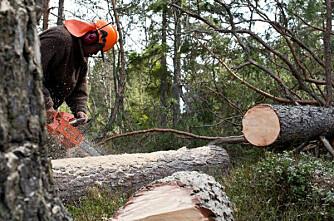 Hedmark-skogeiere hogger javnt og trutt