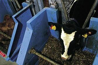 Gi kua restene fra biodiesel-produksjon