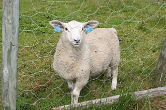Aggressivt virus rammer lam