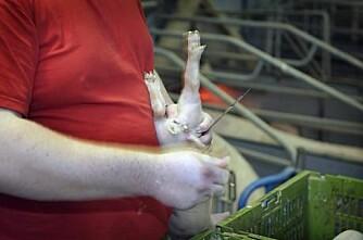 Sverige åpner for at bonden kan bedøve smågrisen sjøl
