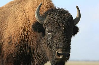 Danskene vil ha bisonoksene tilbake