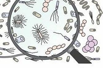 Salmonella funnet i svinebesetning i N-Trøndelag