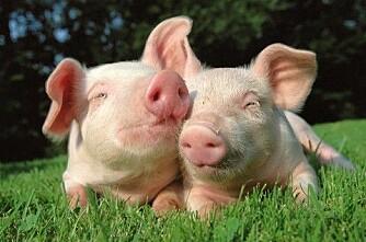 Danskene selger grisører til Kina i hopetall