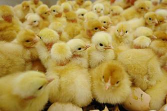 Konsesjonsgrensa for kylling økt