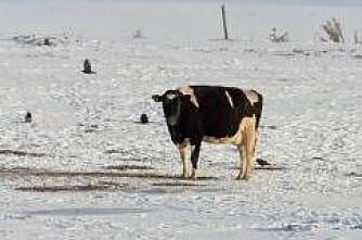 60 000 storfe omkom i snøstorm