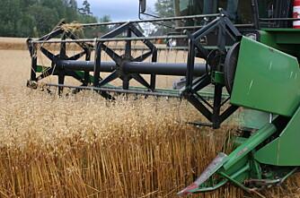 Avlingene over snittet, men mindre enn i fjor