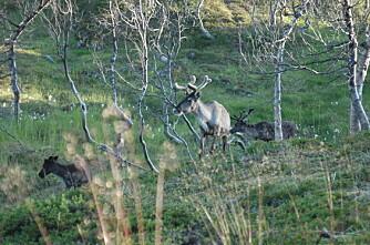Prøver usynlig gjerde for reinsdyr