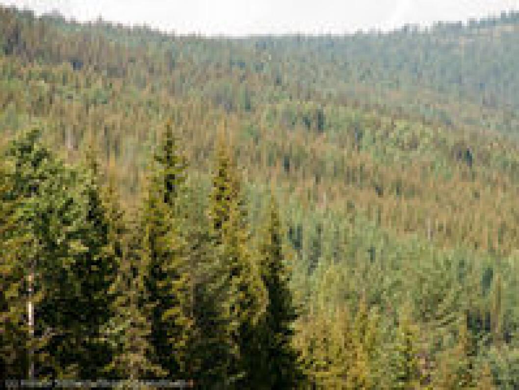 Skog angret av granrustsoppen