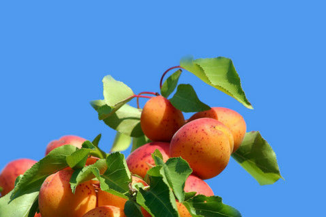 aprikostre