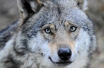 Ulven tilbake i Danmark