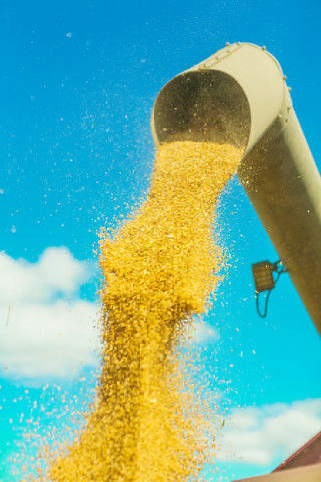 Korntut med hvete