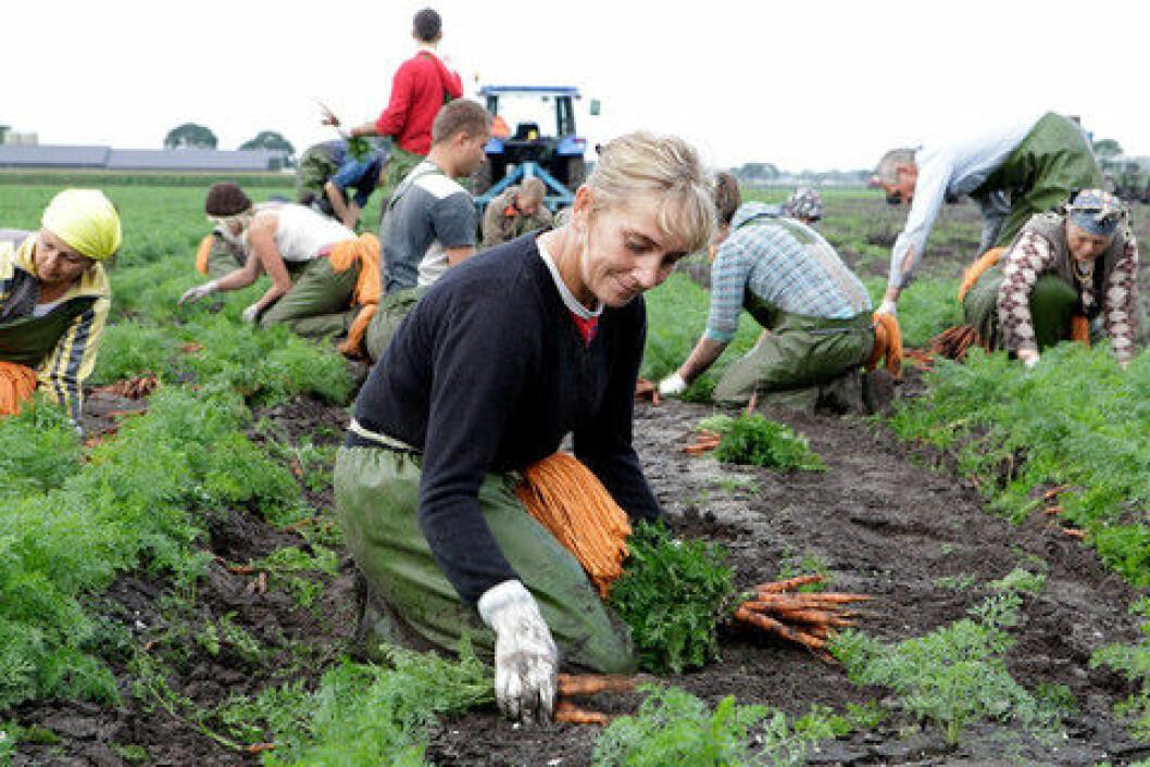 Innhøsting av gulrot