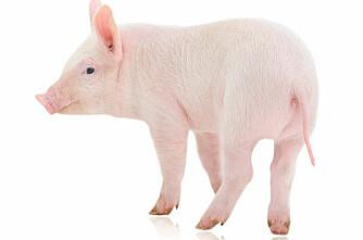 Tatovering av gris er tøys
