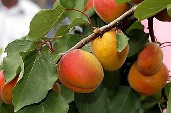 Aprikos  det nye eplet i vest?