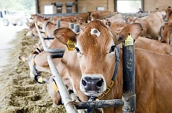 Bonde dømt for mangelfull mosjon av kyr