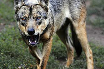 Svenskene setter ut ulv