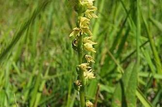 Dagros redder orkidé fra undergang