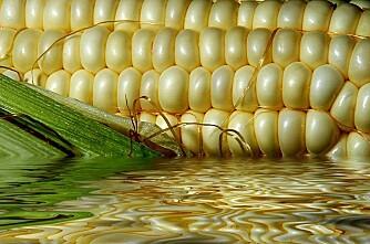 Genmodifisert mais funnet i FK-fôr