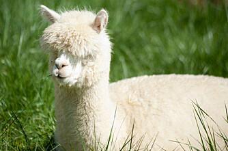 Alpakka-ull utkonkurrerer saue-ull?