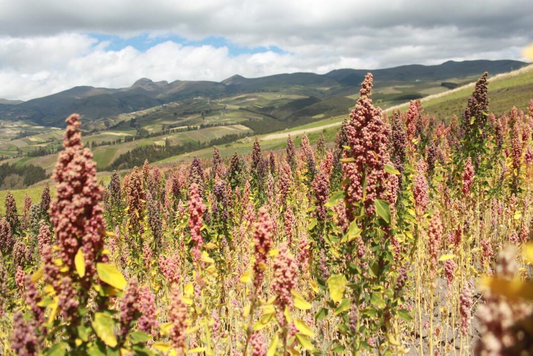 Quinoa-planta vokser i det spesielle klimaet i Andesfjellene og har brukt mange år på å aklimatisere seg til danske forhold. Foto: colourbox.com