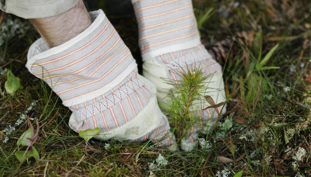 Landbruks- og Matdepartementet åpner for ekstraordinært tilskudd på skogplanting.