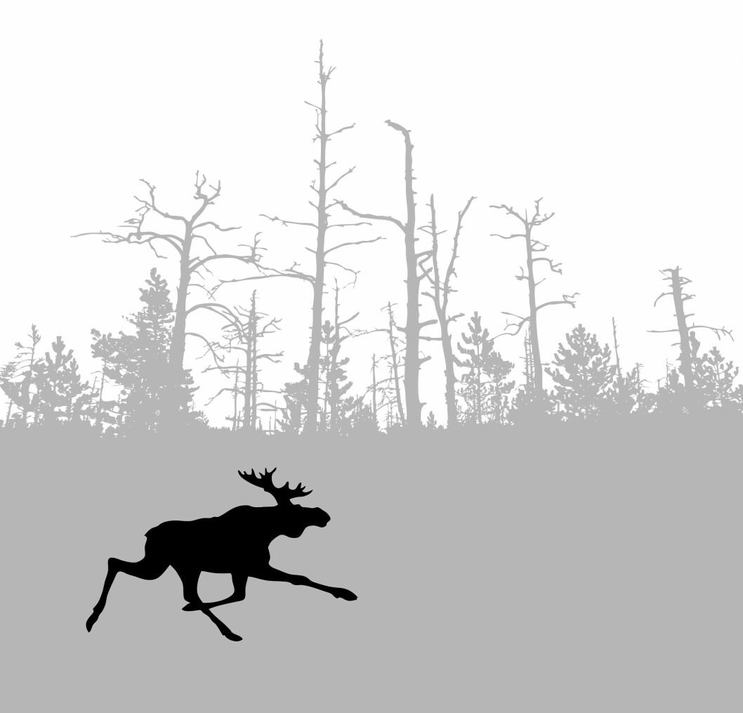 Flere elg klarte å unnslippe jegerne i jaktåret 2015/2016. Foto: colourbox.com