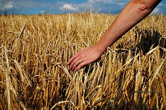 Er korndyrking i nord mulig?