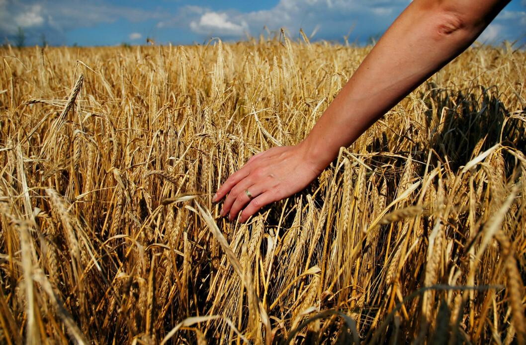 Om ikke alt kornet i nord når å bli fullmodent, så er det en god fôrkilde og et viktig bidrag i vekstskiftet. Foto: colourbox.com