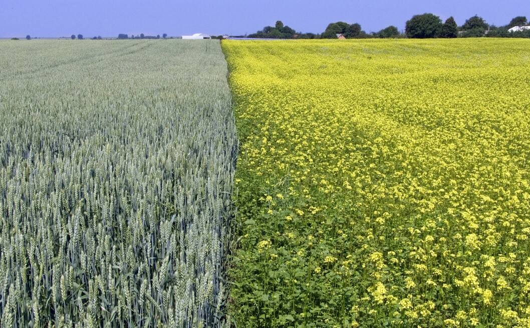 Et variert vekstskifte er veien til bedre økonomi og et lavere sjukdomspress. Foto: colourbox.com