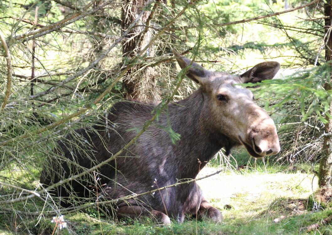 Mattilsynet ber deg melde fra dersom du skulle oppdage sjuke hjortedyr. Foto: colourbox.com