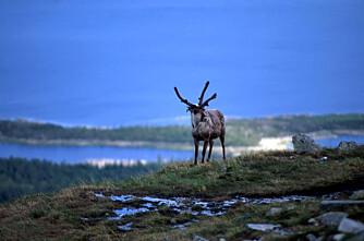 Nytt, nordisk forskningssenter for reindrift