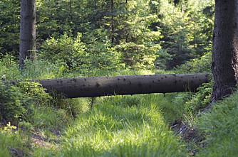 Mer gammelskog og død ved