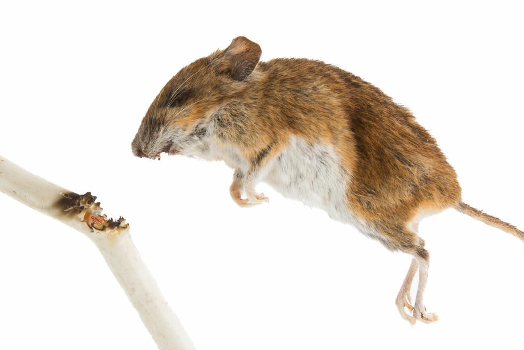 Gnagerbitt kan forårsake kortslutning og gi varmeutvikling. Foto: colourbox.com