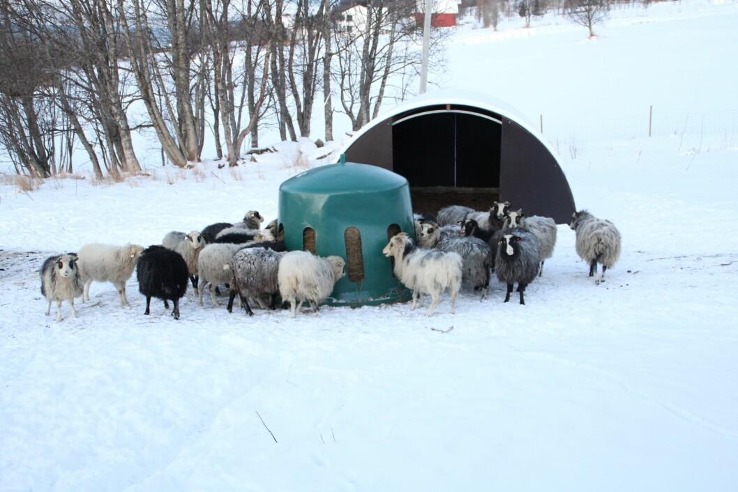 Fôringstid på Berg med høyklokka på plass. Foto: Privat