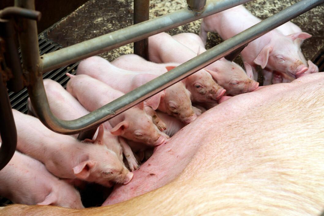 15,5 levendefødt grisunger i snitt per kull klarer purkene til familien Frøshaug i Buskerud. Foto: colourbox.com