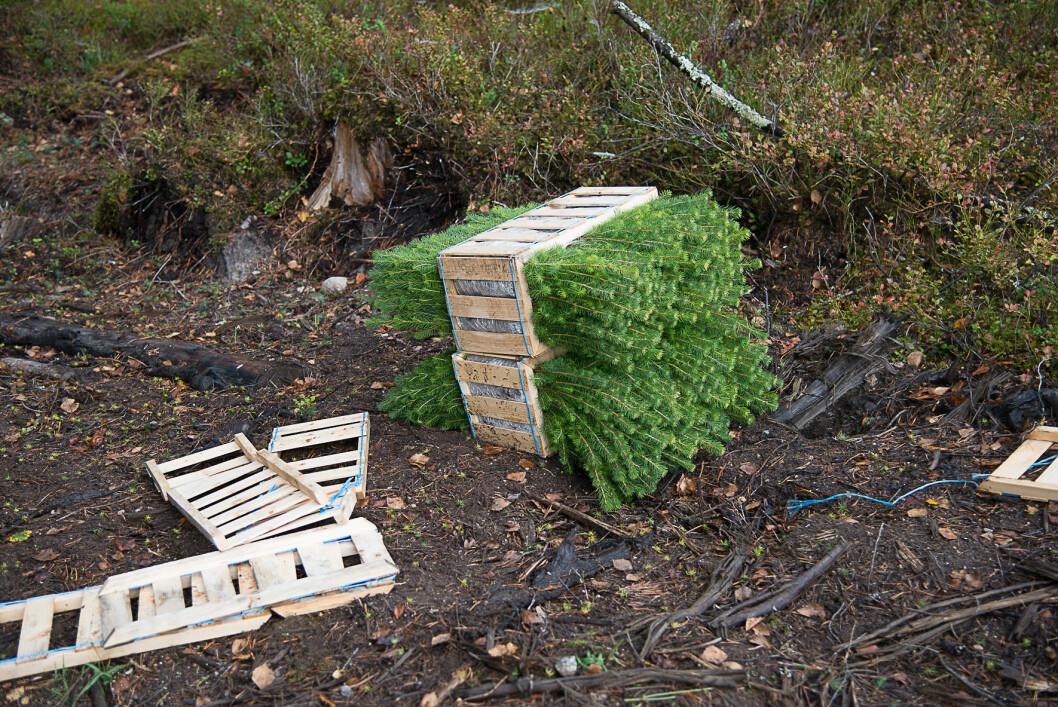 Over 34 millioner skogsplanter ble satt ut sist år. Foto: Erling Fløystad, NIBIO