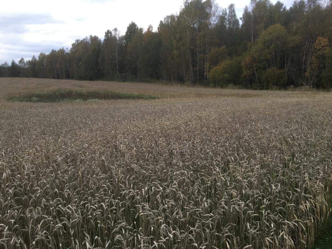 Flere steder på Østlandet står nokså grå hveteåkre og venter på å bli høsta.