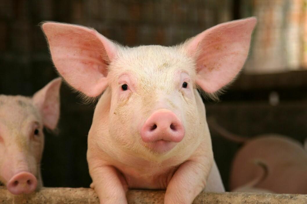 Ingen svinebesetninger som ble testet, hadde MRSA varianten næringen har kjempet mot. Foto: Yay Images