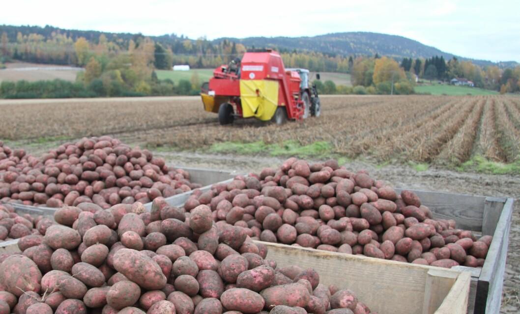 Det blir stadig færre potetbønder i Norge. Foto: H. Bjerke