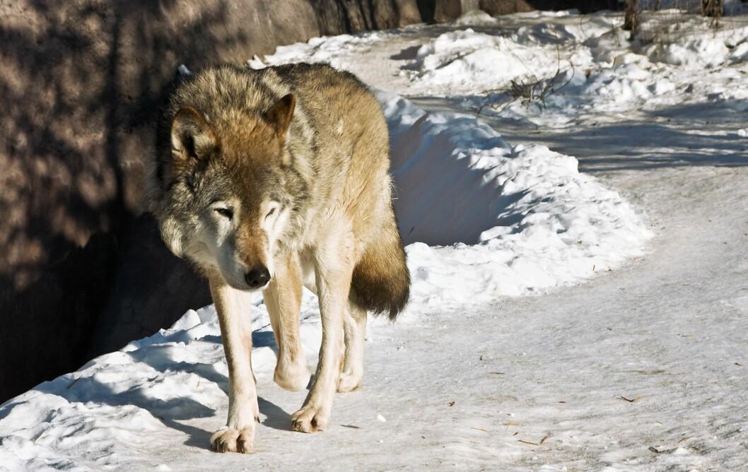 Ny utstilling om ulv tar mål av seg å være konfliktdempende. Foto: Colourbox
