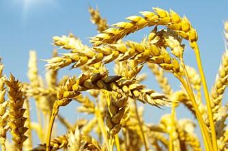 Venter allergivennlig hvete