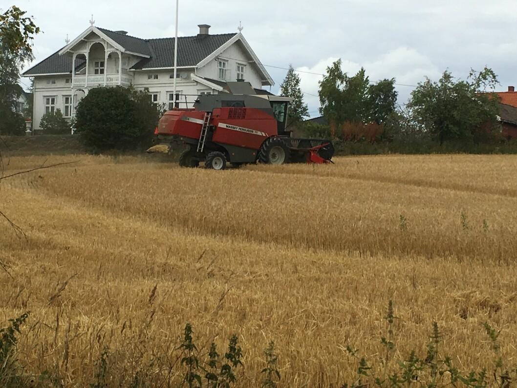 Ugraset har tilsynelatende klart seg bedre enn kornet gjennom denne tørkesommeren.