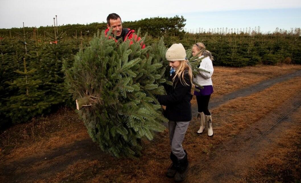 Noen har brukt år på å dyrke fram juletreet ditt. #ingenjulutenbonden Foto: Colourbox