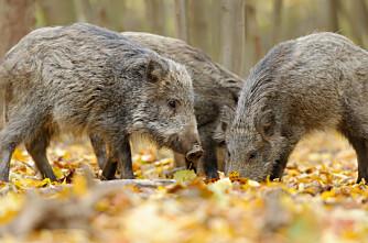 Advarer mot Afrikansk svinepest