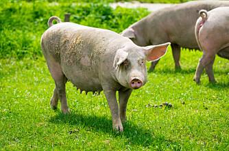 Kan griser spise gras?