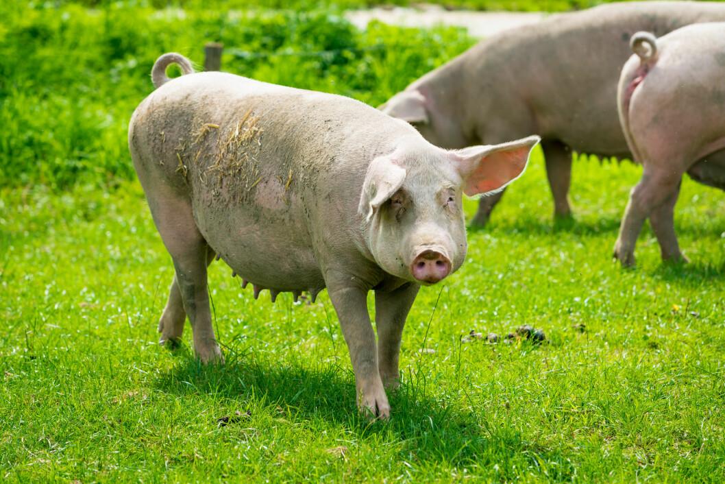 Sjøl om griser ikke skal bli beitedyr, er det kanskje mulig å lure inn en del grasprotein i fôret? Foto: colourbox.com