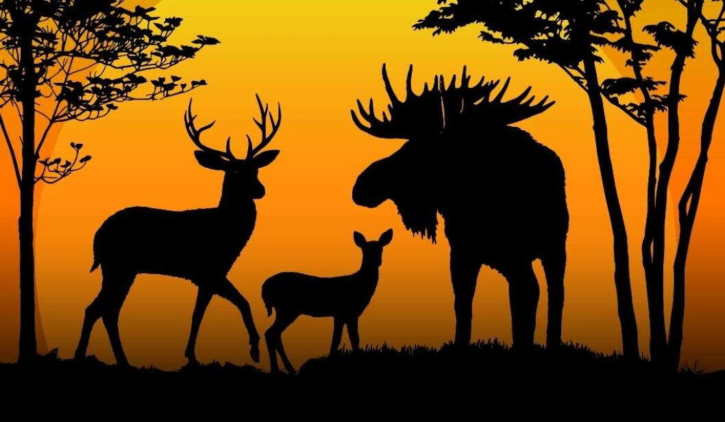 Hjortejakta har tatt innersvingen på elg-jakta i Norge. Tronskiftet skjedde for ti år siden. Illustrasjon: colourbox.com