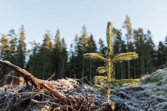 Skogplantinga i siget